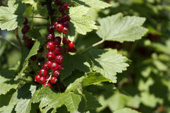 Red currant berries in the sun. Bunch of red currant berries growing on a bush in the garden and sparkling in the sun Royalty Free Stock Image