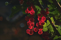 Red currant berries. Sunlit red currants berries on stout woody shrubs Stock Image