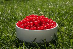 Red currant berries on a white plate in green grass. Description: red currant berries on a white plate in green grass, background, berry, bowl, branch, bunch royalty free stock photo