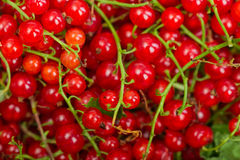 Red currant berry. Close up colorful fruit background Stock Photography