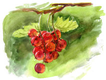 Red currant berry Royalty Free Stock Photography