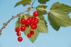 Red currant on blue. Red currant Royalty Free Stock Images