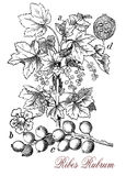 Red currant,  botanical vintage engraving Royalty Free Stock Images