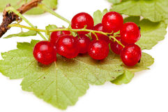 Red currant branch Royalty Free Stock Photos