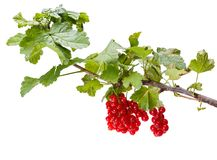 Red currant branch Royalty Free Stock Photography