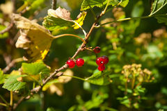 Red currant. On the branch Stock Photography