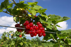 Red currant. Branch of red currant with blue sky Stock Image