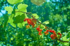 Red currant on the branch. Bush of red currant. stock photo