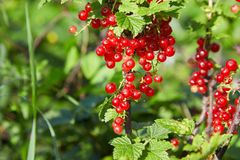 Bush of red currant in a garden. Red currant on the branch. Bush of red currant. Red berries on the branch. Close up red currant on a branch in the field stock images