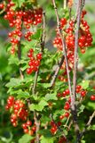 Bush of red currant in a garden. Red currant on the branch. Bush of red currant. Red berries on the branch. Close up red currant on a branch in the field royalty free stock images