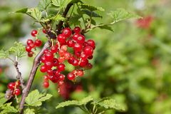 Bush of red currant in a garden. Red currant on the branch. Bush of red currant. Red berries on the branch. Close up red currant on a branch in the field stock image