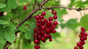 Red currant branch stock video footage