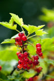 Red currant on a branch Stock Photo