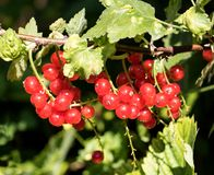 The red currant on a branch with green leaves. Stock Photo