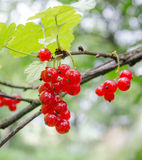 Red currant on a branch Stock Images