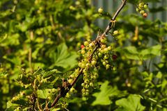 Red currant branch with unripe berries stock photo