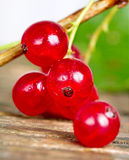 Red currant. Stock Images