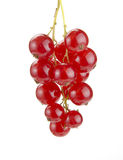 Red currant on a branch Stock Image