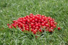 red currant in bulk lies on the green grass royalty free stock photo