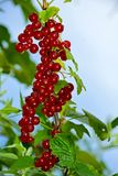 Red currant. Bunch of red currant berries stock images