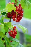 Red currant. Bunch of red currant berries royalty free stock photos