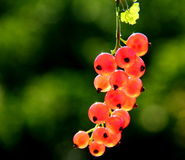 Red Currant. Bunch of red currant on branch Stock Images
