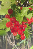 Red currant bunch Stock Photo