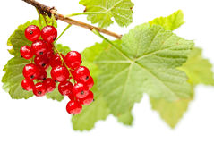 Red currant bunch isolated on white Stock Photo