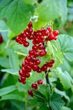Red currant. Bunch of red currant berries royalty free stock image