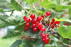 Red currant on bush Royalty Free Stock Photos