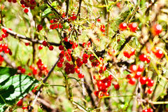 Red currant bush. Shrub with red currants in the garden Stock Photos