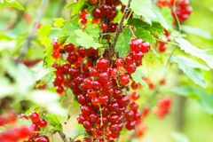 Free Red Currant Bush Royalty Free Stock Photography - 25661897