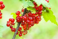 Red currant bush Royalty Free Stock Photo