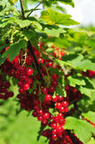 Red currant. On a bush Stock Images