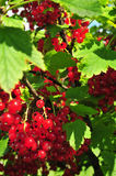 Red currant. On a bush Royalty Free Stock Photography