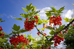 Red currant bush Stock Photo