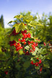 Red currant bush. With ripe fruit Stock Image