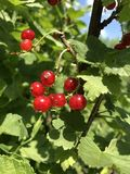 Red currant on a bush against the sky. Bright summer photo.  royalty free stock images