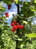 Red currant on a bush against the sky. Bright summer photo.  royalty free stock photos