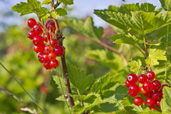 Red currant on a bush. Branch of red currants on a farm Stock Images