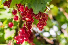Red Currant Bush. Red currants on a bush Royalty Free Stock Photography