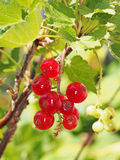 Red currant bush detail. Berries. Royalty Free Stock Photos