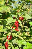 Red currant bush Royalty Free Stock Photos