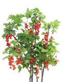 Red  currant bush  isolated Stock Image