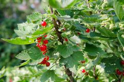 red currant bush Stock Images