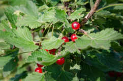 red currant bush Royalty Free Stock Images