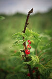 Red currant bush Stock Photography