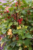 Red currant bush. Currant ripening in summer royalty free stock image