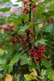 Red currant bush. Currant ripening in summer stock images