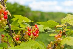 Red currant on the bush Royalty Free Stock Photography